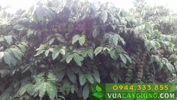 Cây giống cà phê Thiện Trường - Năng suất cao 6-8 tấn, nhiều ưu điểm 3