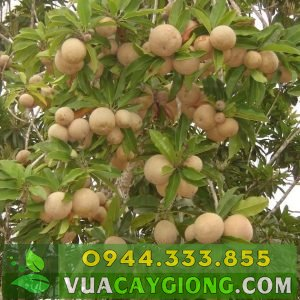 Cây giống hồng xiêm - Cây giống sapoche