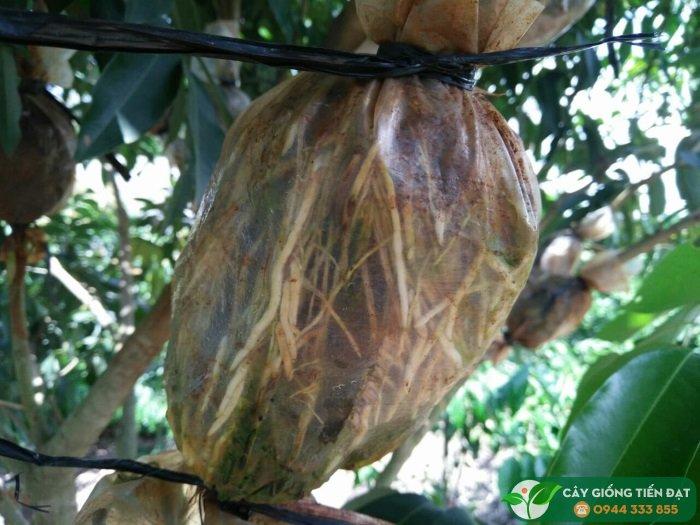 Cây giống vải u hồng u trứng (chiết cành)