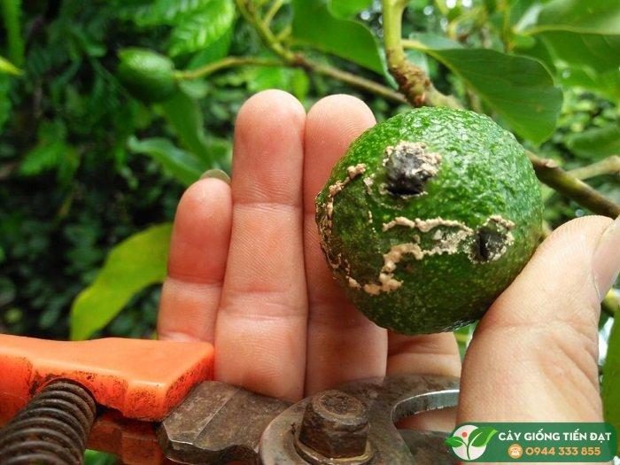 Côn trùng chích hút và nấm bệnh làm cho bơ rụng trái nhiều - Nguồn: Hội Nông Dân Trồng Bơ Việt Nam