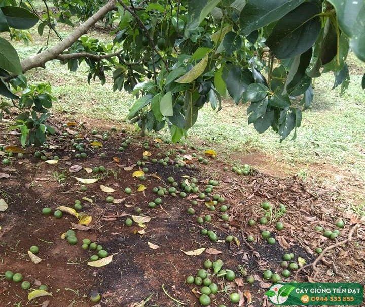 Nguyên nhân bơ booth rụng trái nhiều - Nguồn: Hội Nông Dân Trồng Bơ Việt Nam