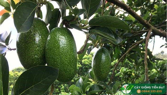 Cung cấp cây giống bơ Cuba sáp dẻo