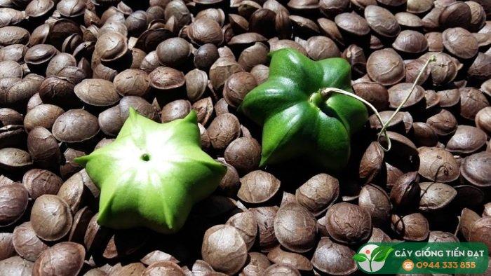 Giới thiệu giống cây sachi (sacha inchi)