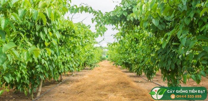 Kỹ thuật trồng sachi (sacha inchi)