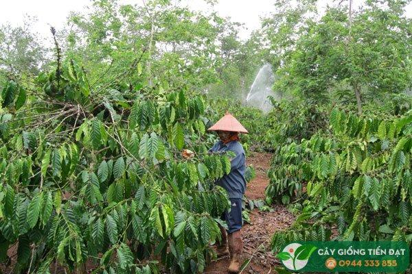 Chăm sóc cây cà phê sau thu hoạch
