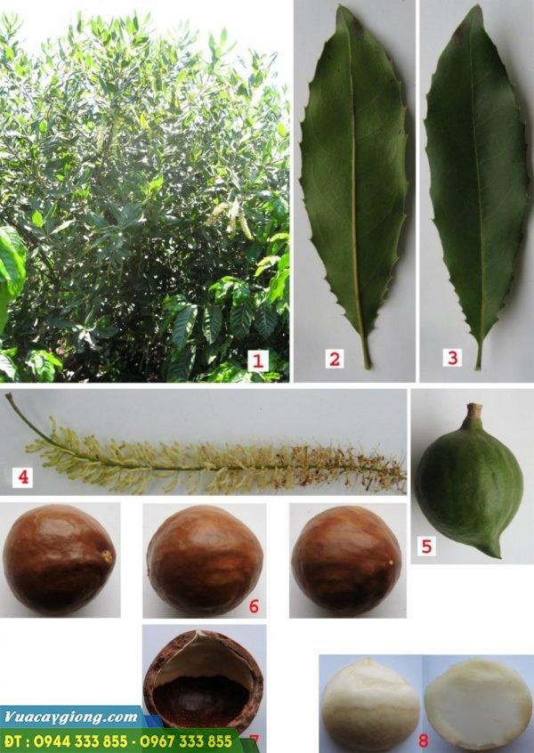 Giống mắc QN1: 1. Hình dáng cây; 2. Mặt dưới lá; 3. Mặt trên lá; 4. Chùm hoa; 5. Quả; 6. Hạt; 7. Vỏ hạt; 8. Nhân.