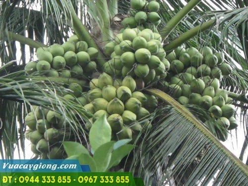Giống dừa xiêm dây (dừa ẻo) siêu quả