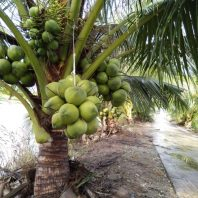 Cây dừa xiêm dứa (dừa thơm thái lan)