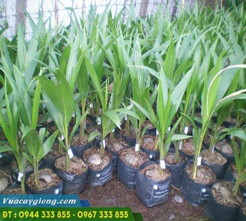 Cây giống dừa xiêm dây (dừa ẻo)