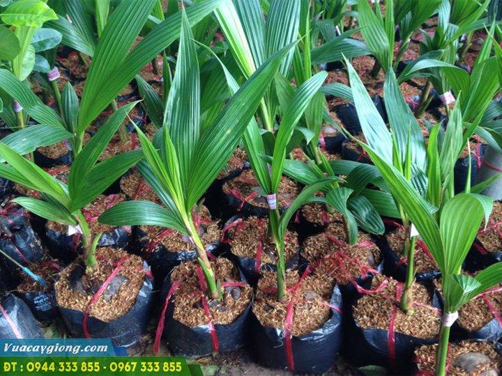 Cây giống dừa xiêm dứa (dừa thơm thái lan)