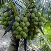 Bán giống dừa xiêm dây (dừa ẻo)