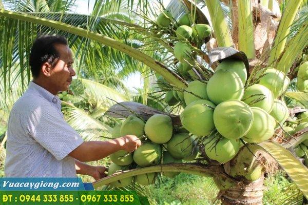 Dừa xiêm dứa (dừa thơm thái lan)