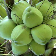 Quả dừa xiêm xanh lùn