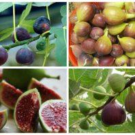 Sung Mỹ - Giống cây trồng mới giá trị kinh tế cao