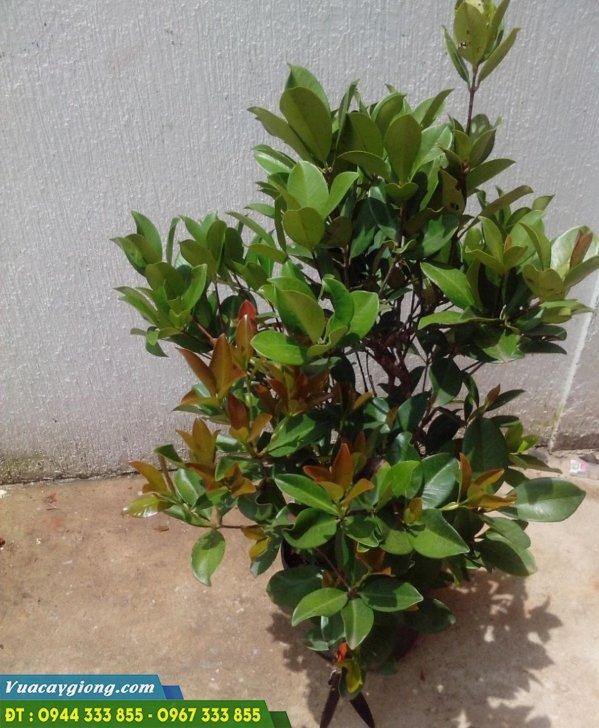 Cây giống cherry nhiệt đới - cherry nam mỹ - cherry brazil