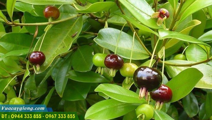 Giống cherry nhiệt đới - cherry nam mỹ - cherry brazil