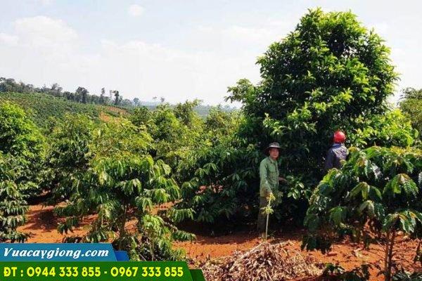 Trồng cây dổi xen canh trong vườn cà phê ở Tây Nguyên