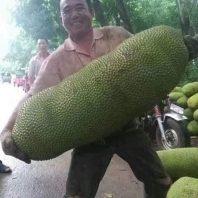 Giống mít trái dài malaysia