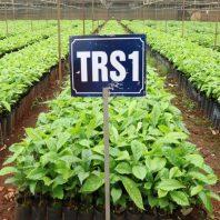 Cây giống cà phê trs1 thực sinh